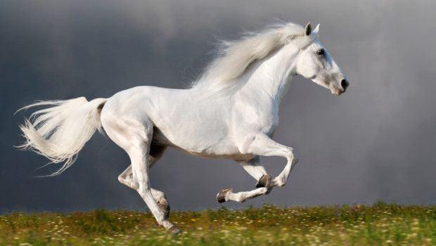 cavallo_bianco_galoppa-620x350